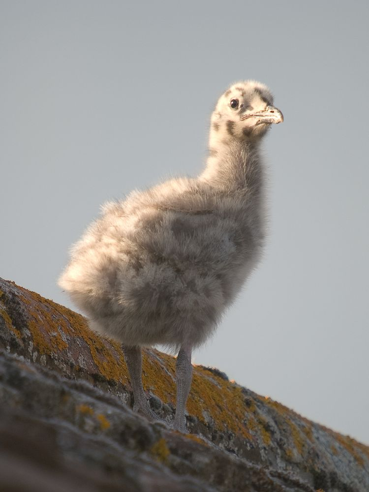 Herring Gull Chick 2