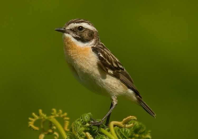Whinchat BGs