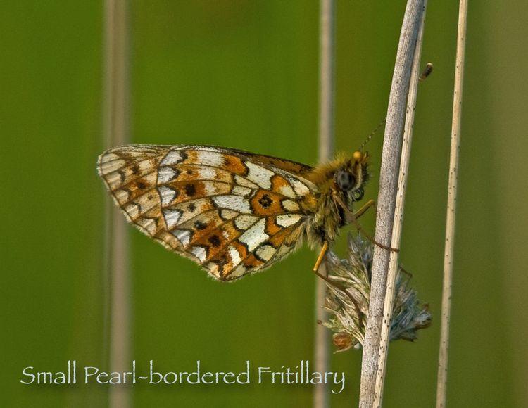Small Pearl-bordered Fritillary 1