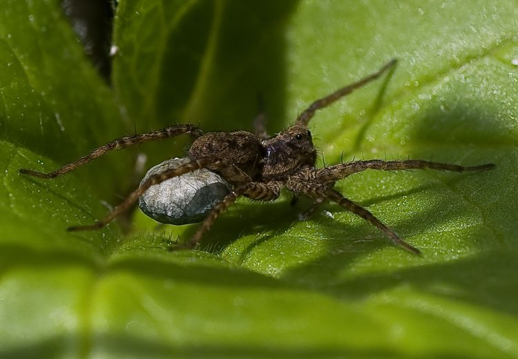 Spider with eggs 2