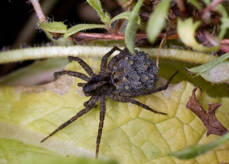 Spider with babies