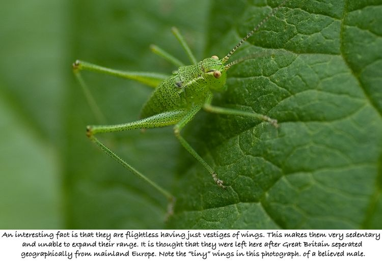Bush Cricket 2