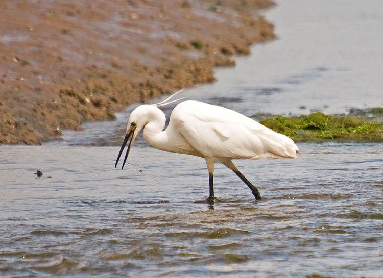 Lit Egret