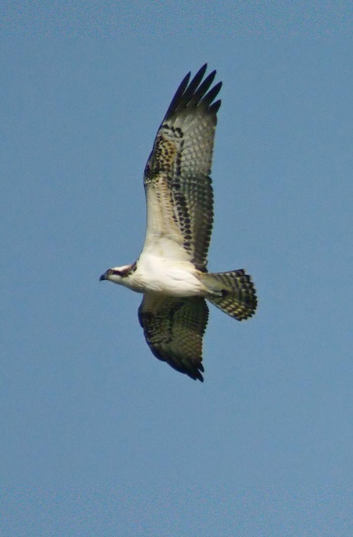Osprey 18:Sept