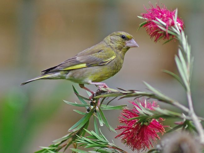 Greenfinch3