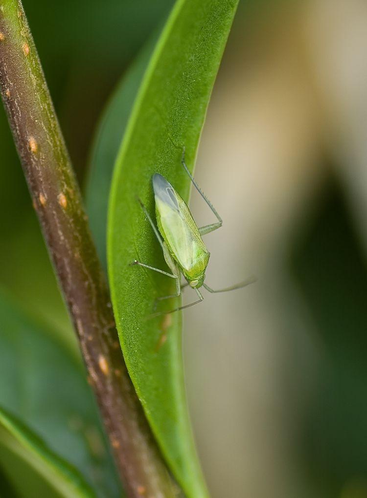 Branscombe leaf Hopper