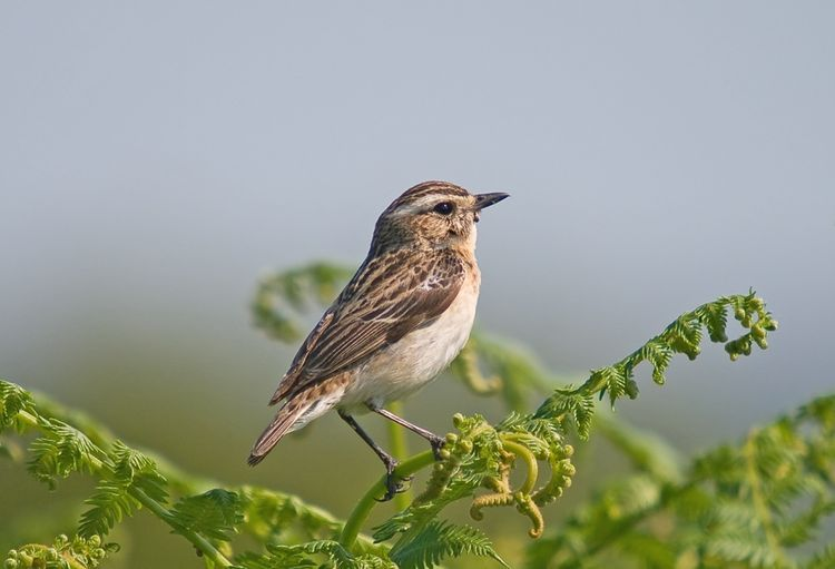 Female Whinchat2