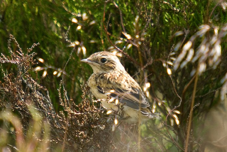 Meadow Pipit baby 2