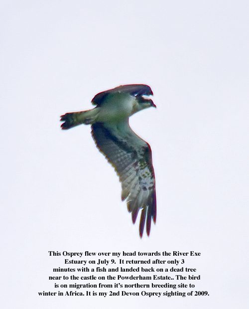 Osprey with text