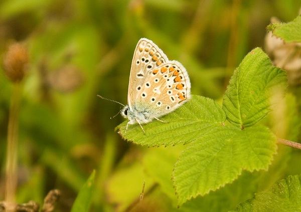 Blue underwing