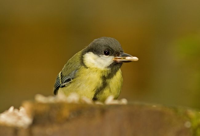 Great tit5