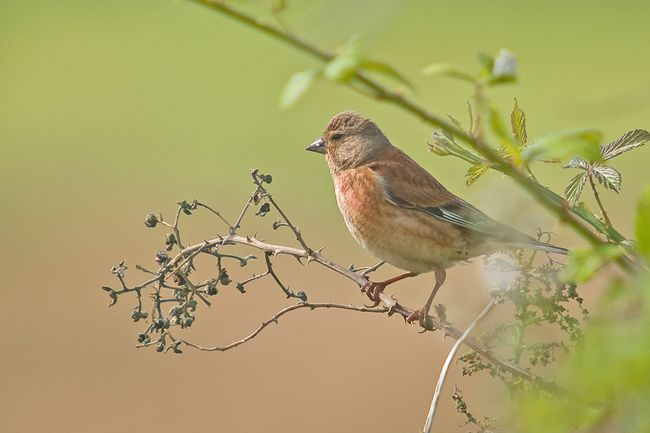 Linnet male2