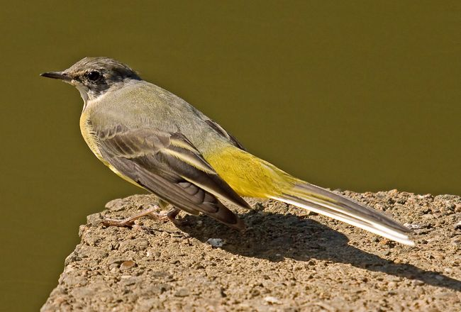 Wagtail4