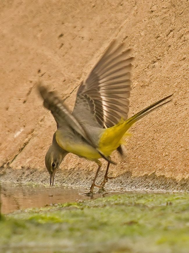 Wagtail a