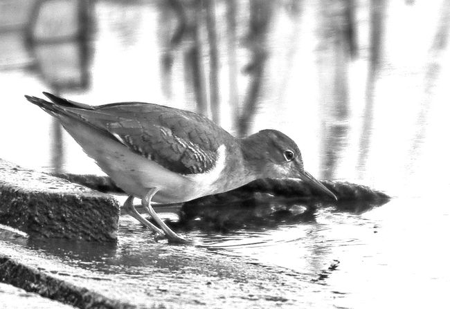 A Spotted Sandpiper