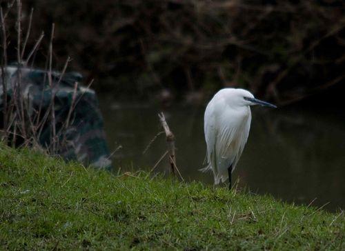 Egret a