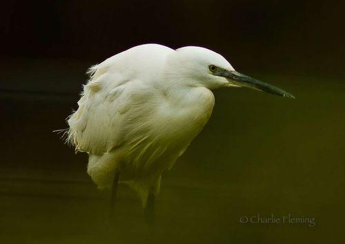 Dark Egret a