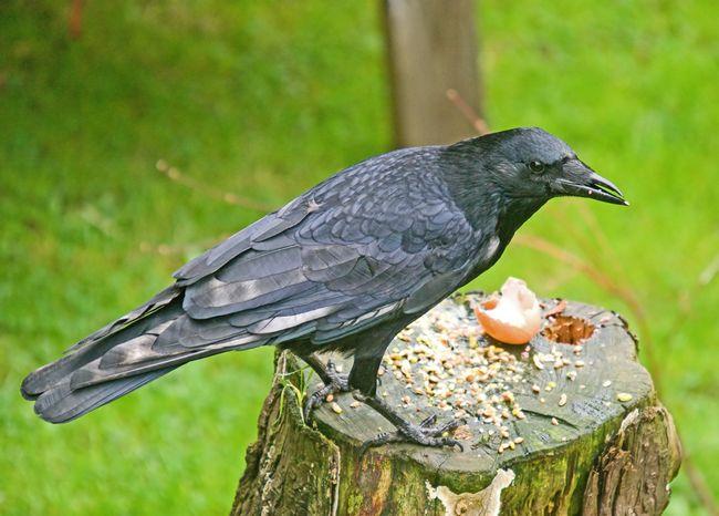 C Crow