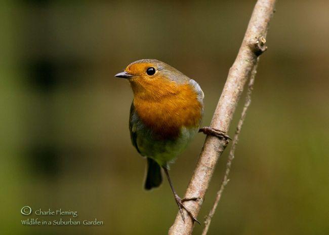 Garden Robin a
