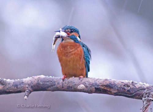 Kingfisher sunday 2a