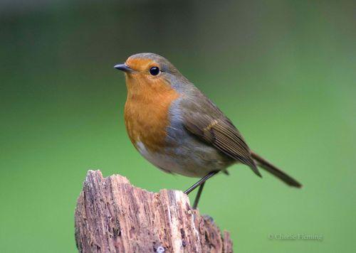 Wednesday robin