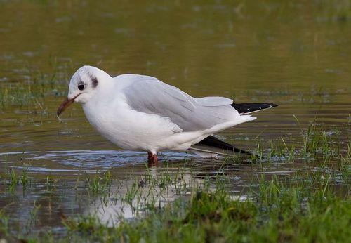 BHeaded Gull