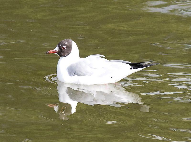 Bh Gull