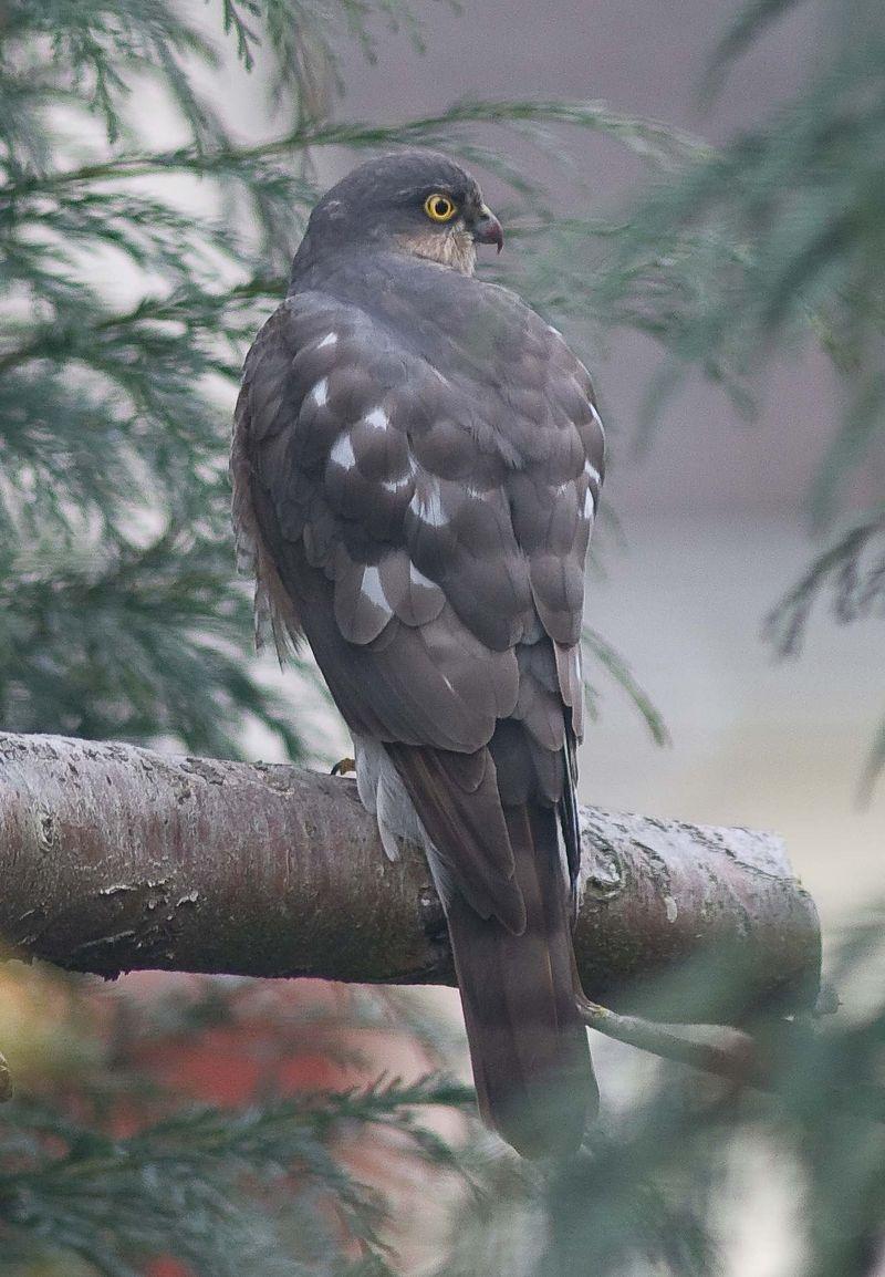 Sparrowhawk - Accipiter nisus (1)