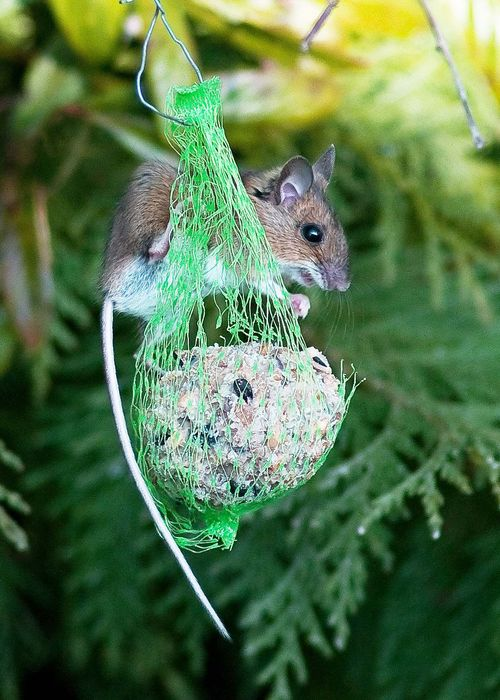 Wood Mouse a