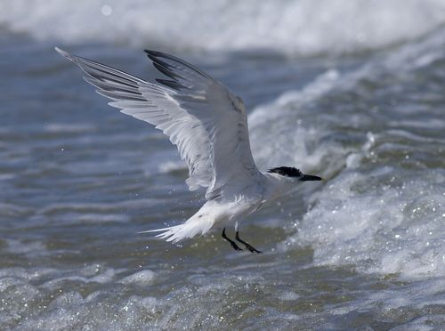 Sandwhich Tern in the surf