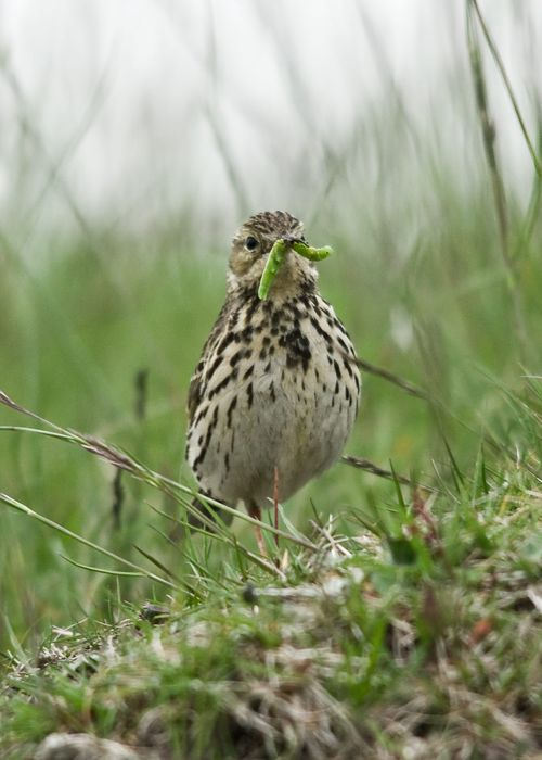 Meadow Pipit a