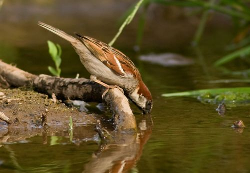 Drinking Sparrow