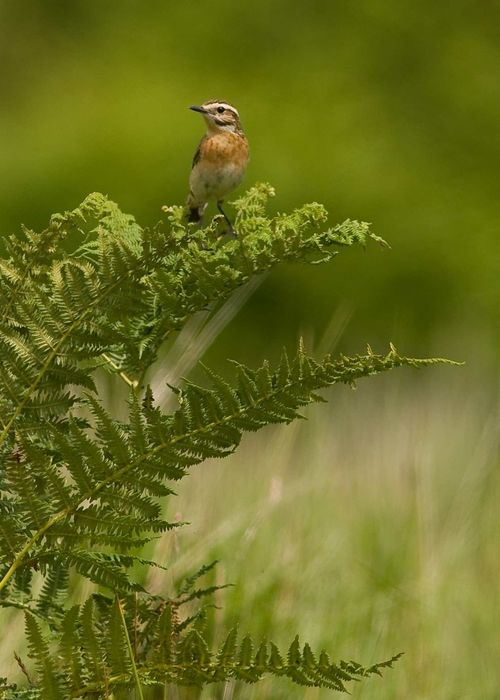 Whinchat a