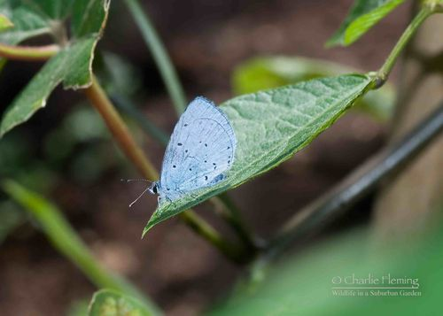 Holly Blue a