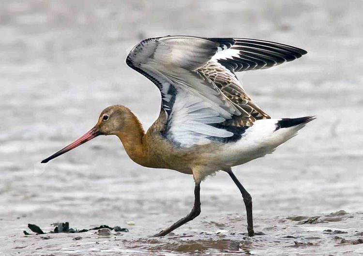 Black-tailed Godwit a