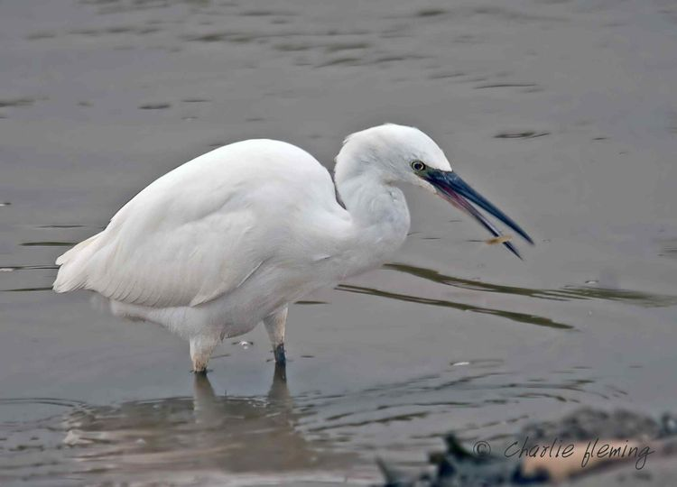 Egret with Shrimp a