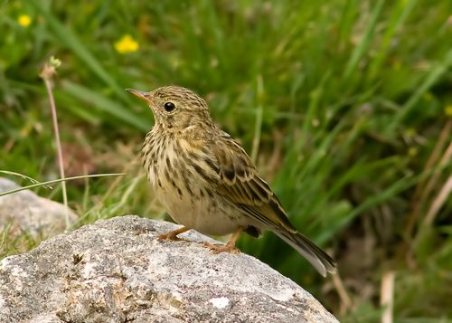 Meadow Pipit youngster.