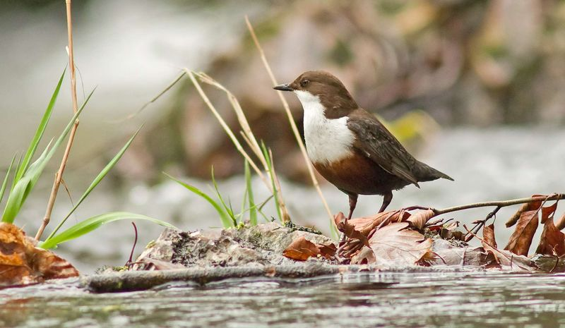 Dipper on the fall (a)
