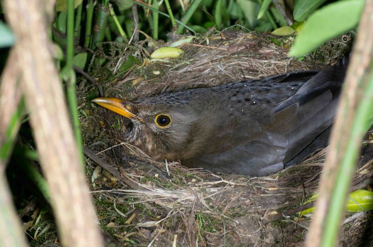 Blackbird on nest a