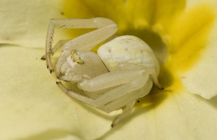 Crab Spider 2