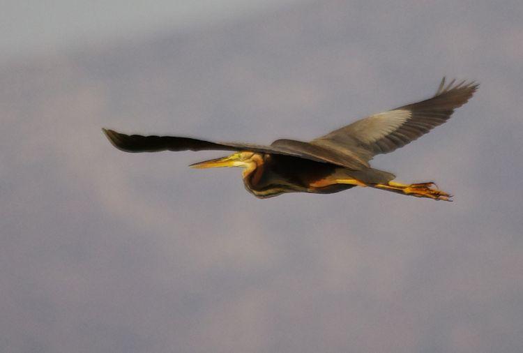 Purp Heron