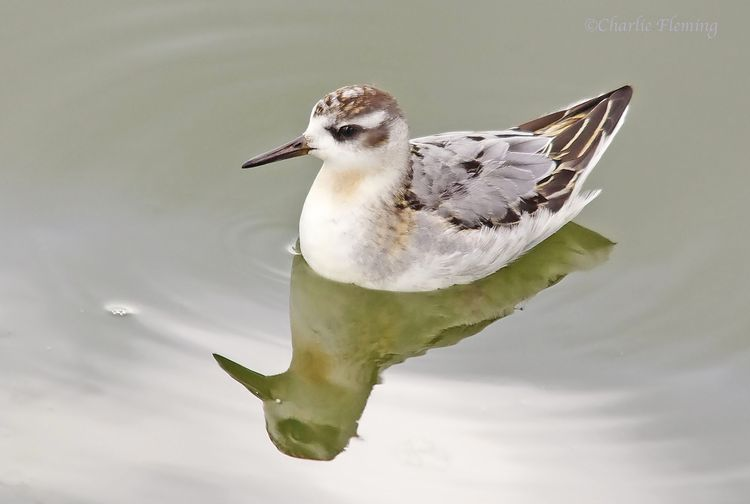 Grey Phalarope Blog