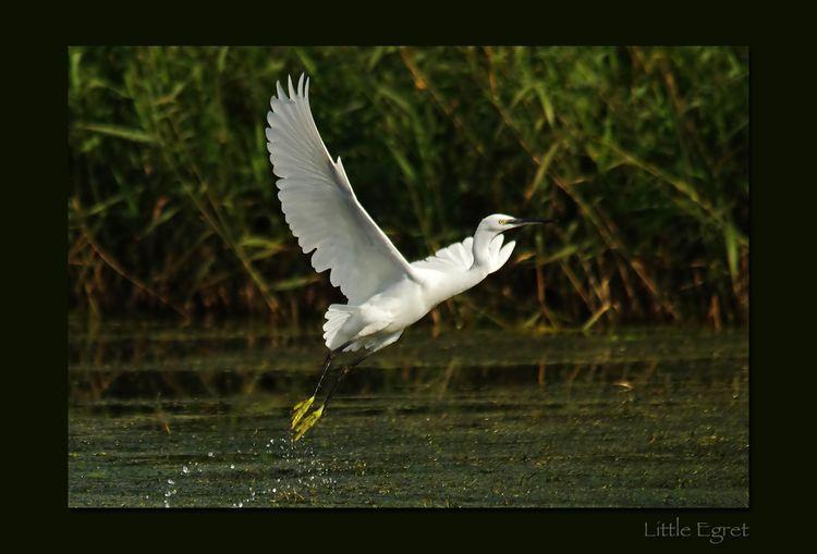 Little egret framed