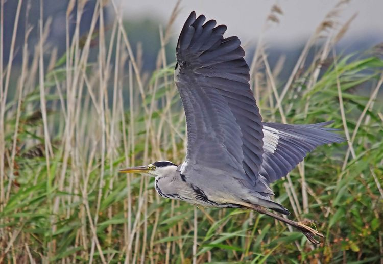Heron in Flight copy