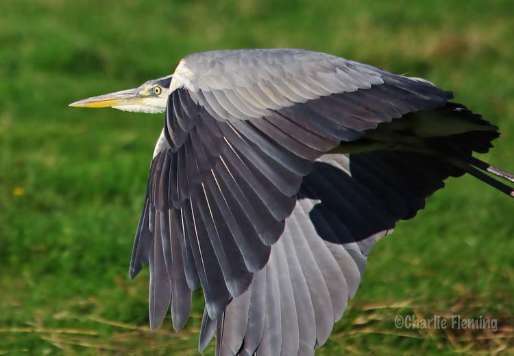 Grey Heron pb