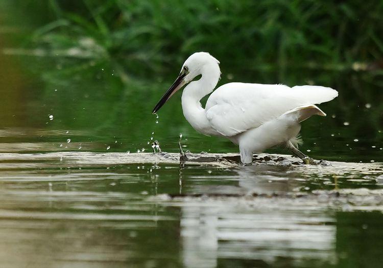 Dripping beak