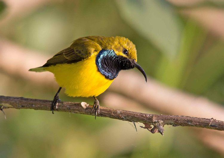 Sunbird Male A