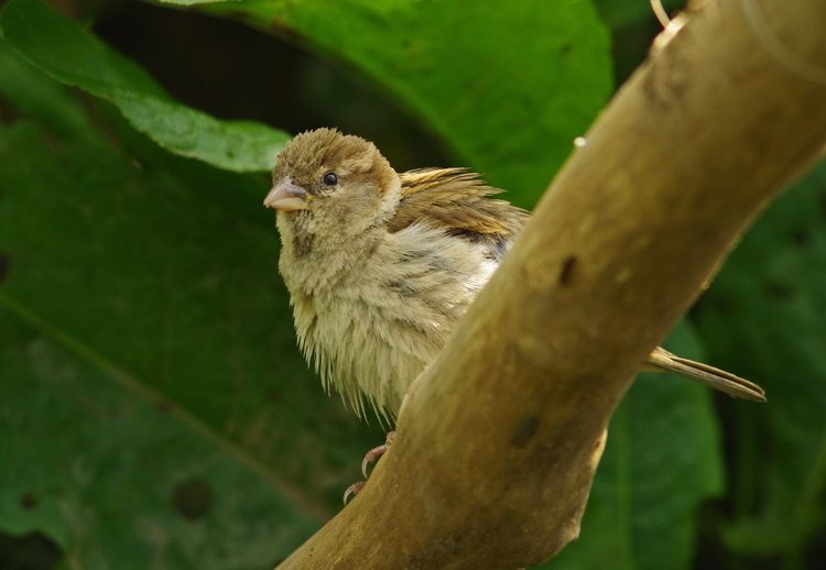 Hen Sparrow a