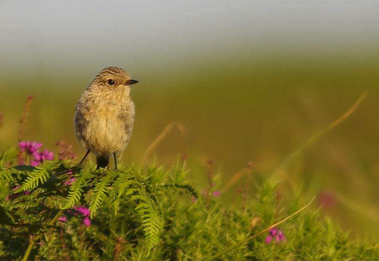 Whinchat picture