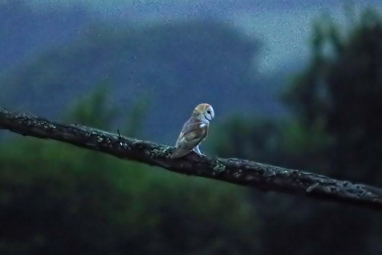 Barn owl on Beam